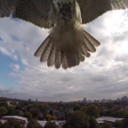 Hawk Attacks Drone